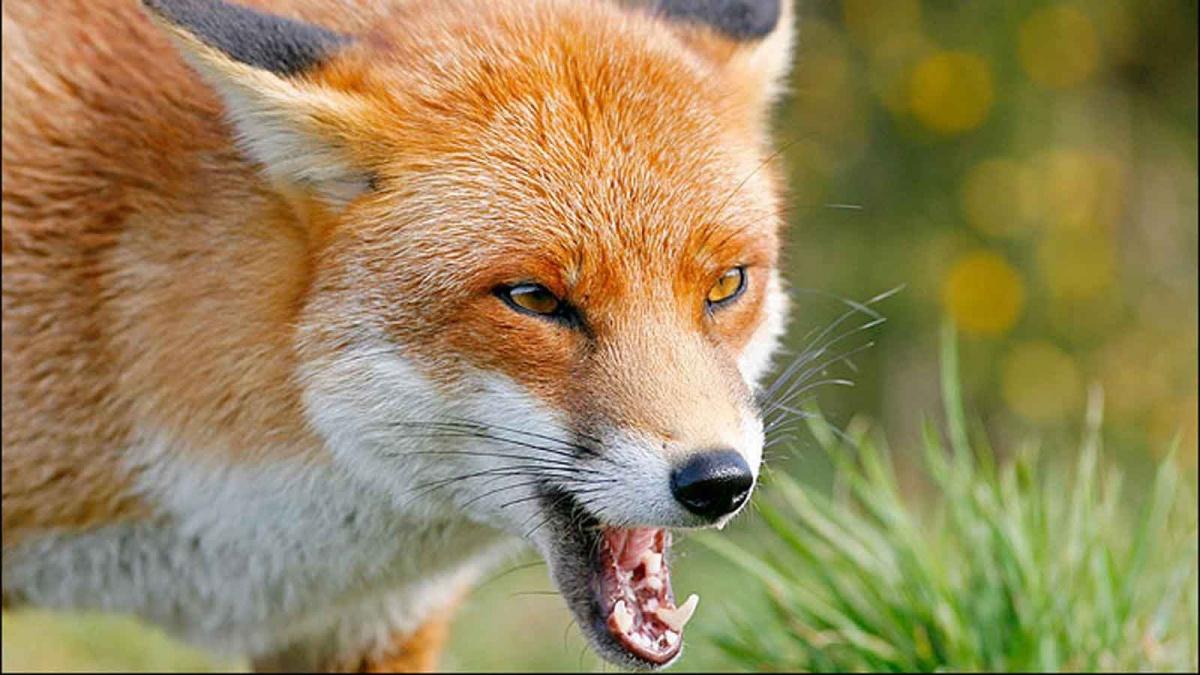 """Результат пошуку зображень за запитом """"скажена лисиця"""""""